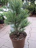 Pinus cembra Pillar - Säulenförmige Zirbelkiefer Pillar