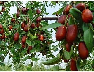50 Chinese Date Tree Seeds, Ziziphus Jujube Var Spinosa - Dehulled