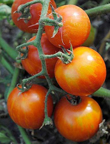Tomate Tigerella - sehr ertragreich - 30 Samen