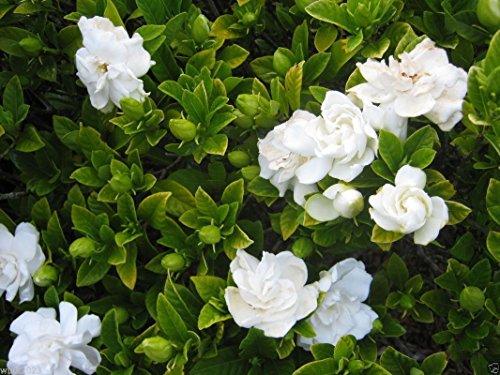 Pinkdose 1000 Seeds: Cape Jasmine Seeds, (Gardenia jasminoides) fragrant Exotic Shrub - open pollinate(1000 Seeds)