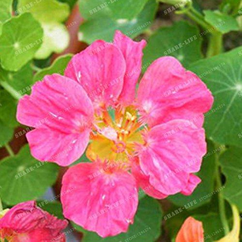 10 pièces Belle capucine Graine Creeper Tropaeolum Majus facile plantation Hanging graines de fleurs ornementales Bonsai New Plant Garden 4