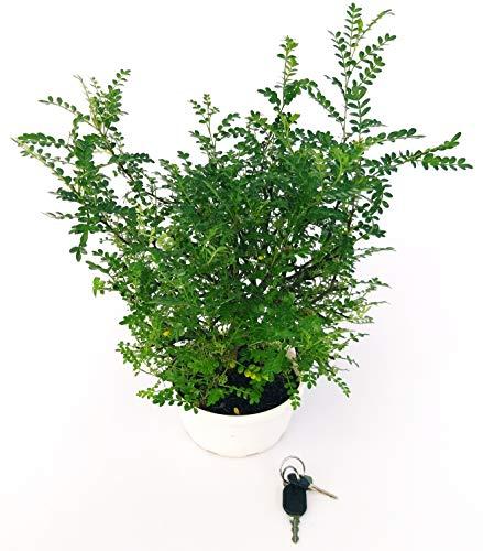 PIANTA DEL PEPE, ZANTHOXYLUM PIPERITUM, pianta vera
