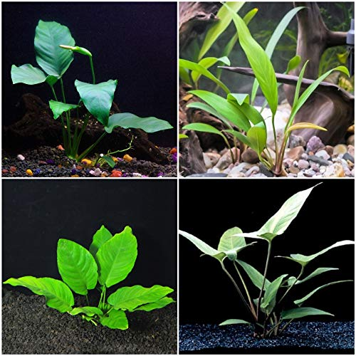 Anubias Bundle - 4 Species (Barteri, Wrinkle Leave, Cogensis, Hastifolia) Easy Low Light Aquarium Plants - Snail Free Guaranteed