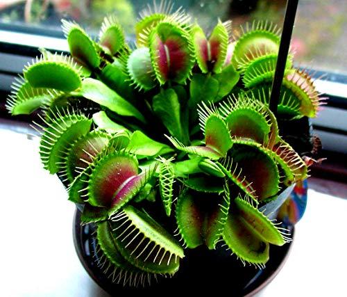 Classic Venus Flytrap Bug Eating Flower Live Plant