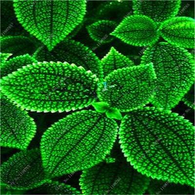 Vente Hot 100 Pcs Bonsai Arc-en-Coleus Fleur Plantes Beau Feuillage Couleur Parfaite Dragon Balcon Begonia Bonsai Facile à cultiver: 6