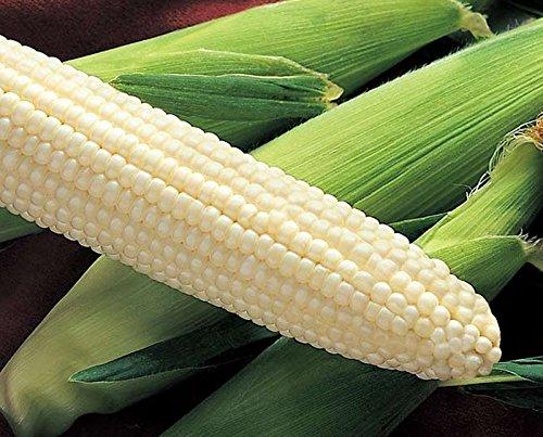 Silver King Hybrid Sweet (se) de maïs de maïs non-OGM Jardin Légumes traités Graines