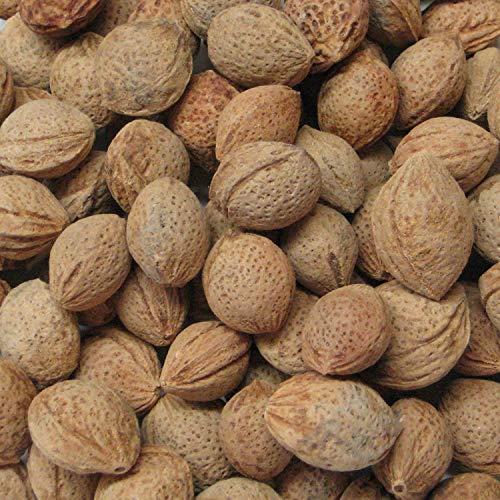 Shopvise 50 de semillas de albaricoque japonés Bonsái Paquete Prunus Mume