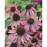 Semillas de Equinácea Pálida 150 Semillas de Echinacea Pallida Planta Medicinal