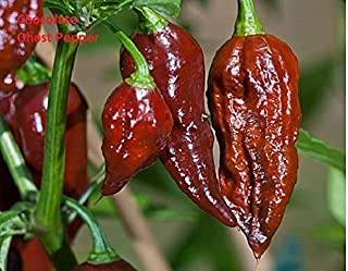 15 Seeds Chocolate Brown Bhut Jolokia Ghost Pepper Guiness World Record Hot Rare