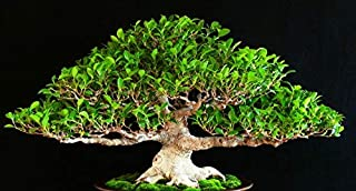100 Seeds: Seeds Chinese Cowardly, ficus retusa, Tiger bark ficus, Seeds Suitable