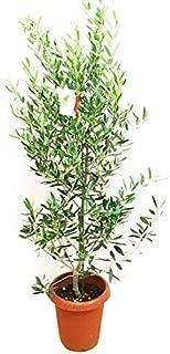 オリーブの木 観葉植物 庭木 鉢植え ガーデニング インテリア
