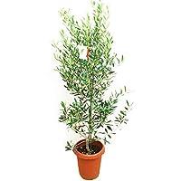 オリーブの木(庭木の種類)