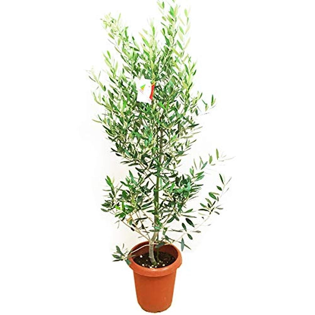 まもなく原子炉独裁オリーブの木 観葉植物 庭木 鉢植え ガーデニング インテリア