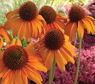 Tangerine Dream Coneflower Seed Pack