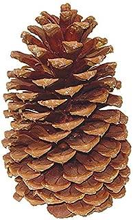 ALLO Botanicals Large Jeffrey Pines Cones - 6-9 inches (5 Cones)