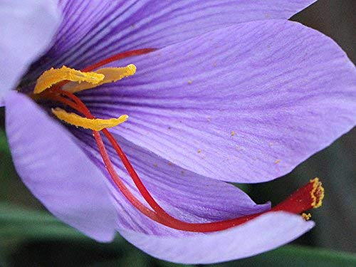 20 bulbes SAFFRON CROCUS (Crocus sativus) circonférence 10 / + cm