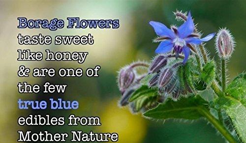25 graines BORAGE GRAINES Borago officinalis, Starflower, Pain d'Abeille, blanc bourrache.