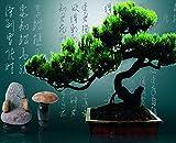 PLAT FIRM Germinación de Las Semillas: Las Semillas de Pino Japonã©s Negro áRbol Bonsai Garden
