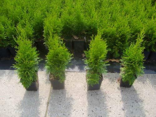 Smaragd 20-30 cm 1 Stück Thuja Lebensbaum T9x9 Hecken Pflanzware