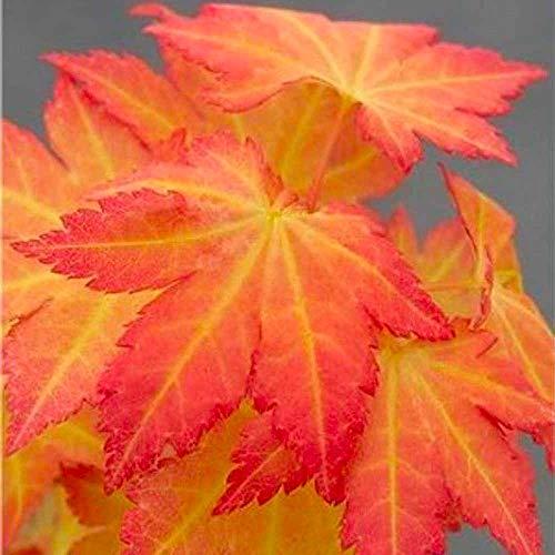 Gardening Express | Acer palmatum Orange Dream | Special Japanese Maple