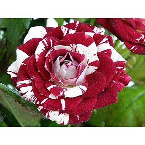 5D completo redondo/cuadrado Diy diamante pintura punto de cruz'flor color de rosa' incrustaciones de diamantes de imitación bordado de diamantes decoración del hogar regalo A10 12'X16'