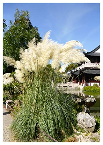 Tropica - Graminées et Bambou - Américain Herbe de la pampa (Cortaderia selloana `Argent`) - 200 Graines
