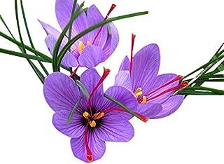 10 Jumbo Saffron Crocus Sativus Corms Bulbs - Largest Size 9-10 cm Corms - Fresh from Holland