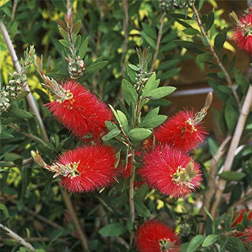TENGGO Egrow 30 Piezas/Paquete Rigidus Semillas Árbol rígido de Cepillo de Botella Planta Callistemon Rigidus para la decoración del jardín del hogar