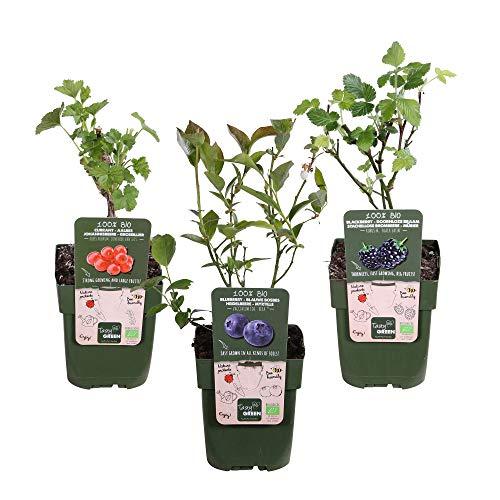 3x Beerenobst Pflanze'Fruitige Jam' |...