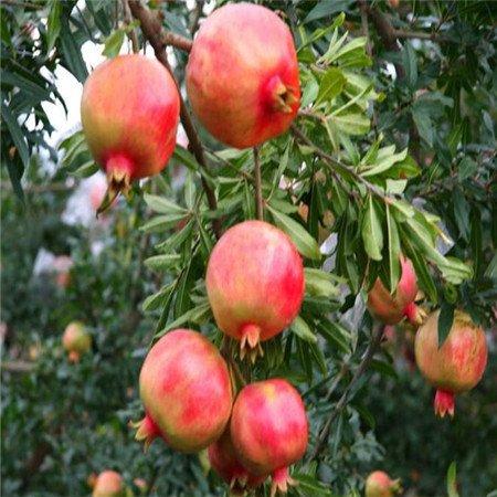Grande Vente de 20 pC/sac géant de la Grenade de plantes graines maison Graines de fruits Deliciosas très grandes et bonbons pour la plante de jardin de maison