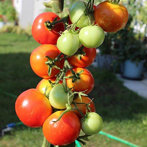 Moneymaker Tomatensamen für ca. 20 Pflanzen - Massenertrag, kältetollerant