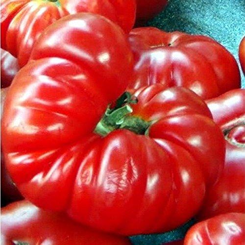 Costoluto Fiorentino - Alte, toscanische Sorte mit ausgewogenem Geschmack - Fleischtomate - 20 Samen