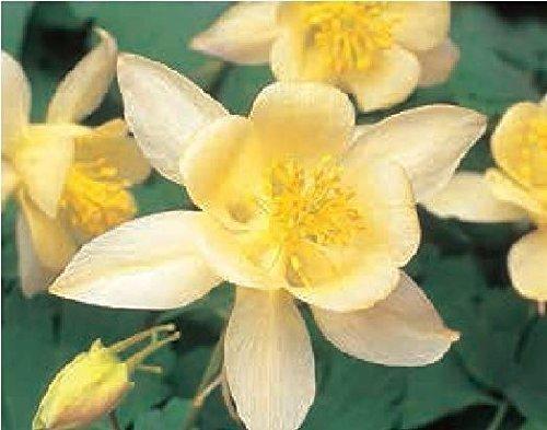 Il vous suffit de graines de fleurs???ancolie???Swan F1???Jaune???40?graines???Gros Lot