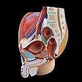 XIOFYA Modelo de anatomía pélvica sagital 1PC para Hombre y Mujer, Modelo de órgano reproductivo Masculino, Sistema...