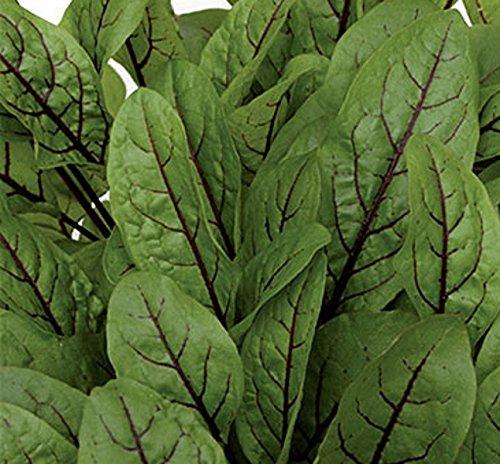 Blutampfer Würzkraut Heilpflanze einjährig Samen
