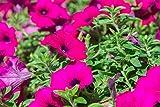 Hanging petunia, Surfinia'Rubina' - scarlet-purple - 80 semi