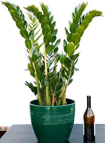 ZAMIOCULCAS XXL IN VASO CERAMICA VERDE RIGATO, Vaso 22 altezza 110cm, pianta vera
