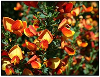 Lena Scotch Broom Shrub - Cytisus - Perennial