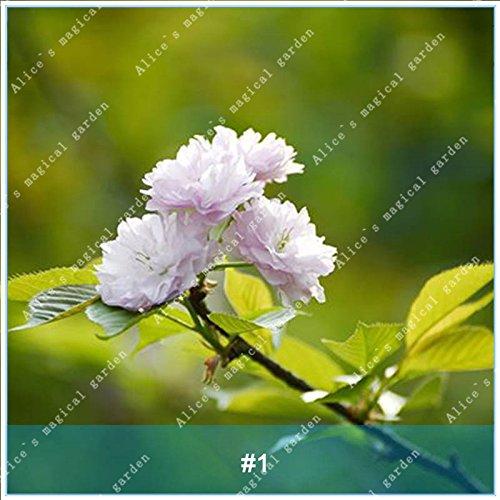 ZLKING 20pcs/pack Arbre Sakura Fleurs japonais Bonsai Graines Cerasus yedoensis fleurs de cerisier facile de cultiver des plantes de fleurs exotiques 1