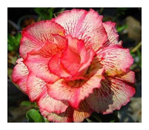 Adenium obesum Money - Rose du désert - Faux baobab - 3 graines