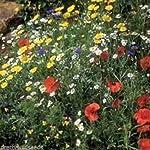 100g WILDFLOWER CORNFIELD MEADOW SEEDS 70/30 WILD FLOWER PACK MIX 92 UK SEED