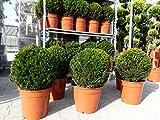 Taxus Baccata Eibe Eiben Kugel 50-60 cm H, Formschnitt, Formgehölz, Buchsbaum Ersatz, Buxus