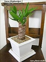 送料無料 ユッカ エレファンティペス 観葉植物 鉢植え 陶器 青年の樹 風水 インテリア 北欧 おしゃれ ギフト お祝い スクエアポット・ホワイト