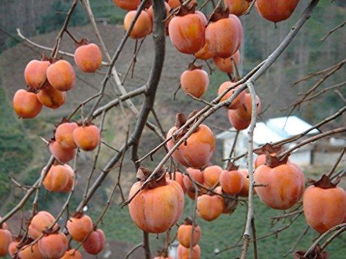 Diospyros kaki CAQUI semillas del árbol!