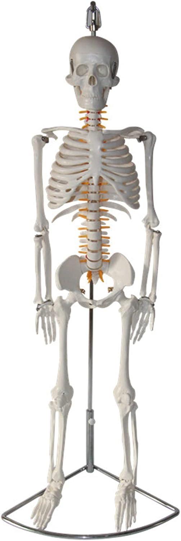 Modelo de esqueleto humano para anatomía, réplica de esqueleto de tamaño medio natural de 33.46 pulgadas con soporte de metal, las extremidades se pueden doblar a su estado natural para fisiología,