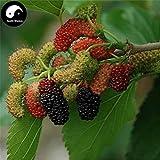 Samen-Paket Nicht Pflanzen: Stück: Kaufen MUL Seed Seeds SeedFructus Mori für Obst Sang Shen