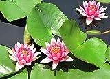 Alick 30 semillas de flores de lirio de agua