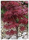 TROPICA - Acero Rosso giapponese (Acer palmatum atropurpureum) - 20 Semi- Resistente al freddo