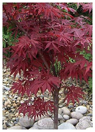 TROPICA - Japanese Maple (Acer palmatum atropurpureum) - 20 Seeds - Mediterranean