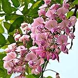 2x Wisteria floribunda « Rosea » | Glycine du Japon rose | Plante d'extérieur grimpante | Hauteur 55-65cm | Pot Ø 15cm